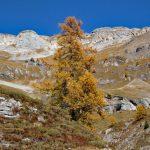 Photo of a larch tree in autunm, near Lac du Tseuzier, Valais, Switzerland, in autumn