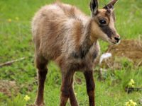 Photo of a chamois fawn, Grosser Mythen hike   Hiking in Switzerland